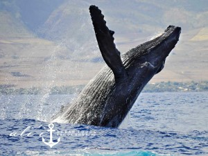 Ali'i Ocean Tours Whale Watching